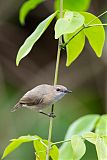 Large-billed Gerygoneborder=