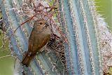 Lesser Antillean Bullfinchborder=