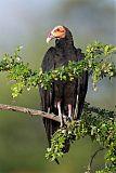 Lesser Yellow-headed Vultureborder=