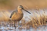 Long-billed Dowitcherborder=