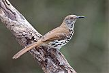 Long-billed Thrasherborder=
