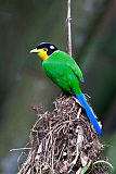 Long-tailed Broadbillborder=