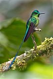 Long-tailed Sylphborder=