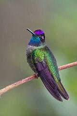 Talamanca Hummingbird