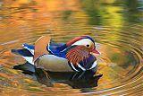 Mandarin Duckborder=