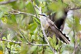 Mangrove Cuckooborder=
