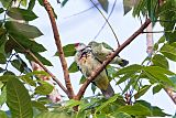Many-colored Fruit-Dove