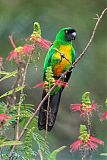 Masked Shining-Parrot
