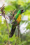 Masked Shining-Parrot