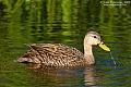 Mottled Duckborder=