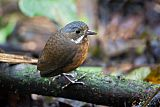 Moustached Antpittaborder=