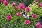 New Holland Honeyeaterborder=