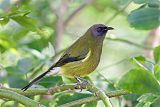 New Zealand Bellbirdborder=