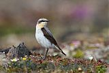 Northern Wheatearborder=