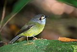 Pale-yellow Robin