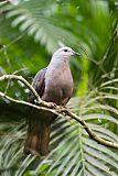 Peale's Imperial-Pigeon