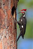 Pileated Woodpeckerborder=