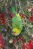 Purple-crowned Lorikeetborder=