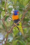 Red-collared Lorikeetborder=