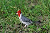 Red-crested Cardinalborder=