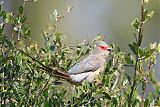 Red-faced Mousebirdborder=