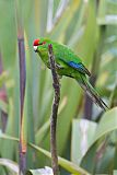 Red-crowned Parakeet