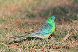 Red-rumped Parrotborder=