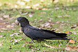 Red-tailed Black-Cockatooborder=