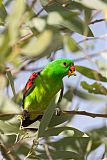 Red-winged Parrotborder=