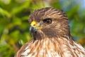 Red-shouldered Hawkborder=
