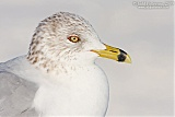 Ring-billed Gullborder=