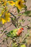 Rosy-faced Lovebirdborder=
