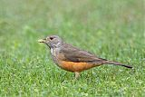 Rufous-bellied Thrushborder=