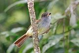 Rufous-tailed Flycatcherborder=