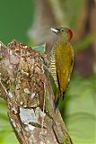 Rufous-winged Woodpeckerborder=