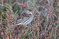 Savannah Sparrowborder=