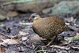 Scaly-breasted Partridge