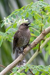 Scaly-breasted Thrasher