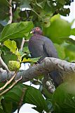 Scaly-naped Pigeonborder=
