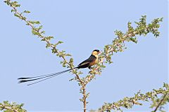 Shaft-tailed Whydah