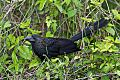 Smooth-billed Aniborder=