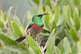 Southern Double-collared Sunbirdborder=