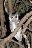 Southern White-faced Owlborder=