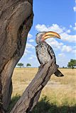 Southern Yellow-billed Hornbillborder=