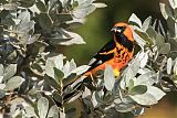 Spot-breasted Orioleborder=