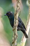Striated Starling