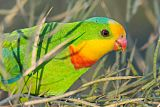 Superb Parrotborder=