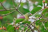 Thick-billed Green-Pigeon