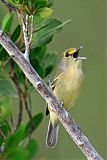 Thick-billed Vireoborder=