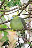 Wedge-tailed Pigeonborder=